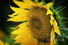 #fineartamerica #approaching #sunflowers #bee #flowers #nature  FINE ART AMERICA is the premier online marketplace for buying and selling fine art prints, framed prints, stretched canvas prints, posters, acrylic prints, metal prints  Alessandro Giorgi Art Photography complete collection for sale http://alessandro-giorgi.fineartamerica.com/ http://alessandro-giorgi.artistwebsites.com  APPROACHING http://fineartamerica.com/featured/approaching-alessandro-giorgi-art-photography.html