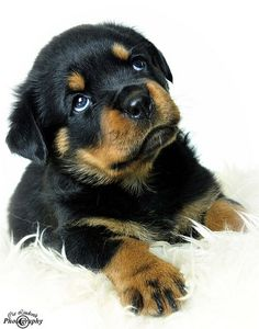 Heavenly look...priceless! Rottweiler puppy, Amber | by Cia L
