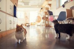 Cat Cafe, South Korea.... aaawwwww!!:) look at the little short kitty!