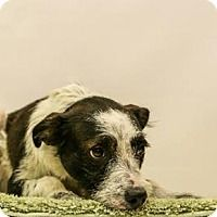 Terrier (Unknown Type, Medium) Mix Dog for adoption in Lake Jackson, Texas - Hoyt