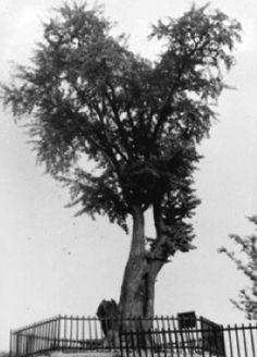 당산은행나무.(당산역 동쪽편 삼성아파트와 당산중학교 정문사이)전해오는 이야기로는 약 500년 전 조선 초기 어느 왕이 언덕을 지나다가 쉬었던 기념으로 은행나무 두 그루를 심었다 합니다. 이후 이 나무는 동네 사람들의 정신적 지주가 되어 마을의 수호신으로 삼아 제사를 지내왔는데 1925년 을축년 대홍수 때 이 일대가 침수되자 동네 사람들이 나무밑으로 피신하여 무사하였으므로 이 부근에 당을 지어 제사를 지내게 되었다고 합니다.