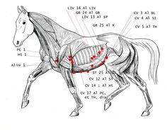 Main acupuncture points on Horse