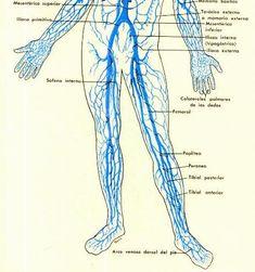 Sistema venoso piernas.