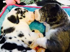 2 Great Dane pups who will grow up to be service dogs - awwww Baby Animals, Funny Animals, Cute Animals, I Love Dogs, Cute Dogs, Dane Puppies, Dane Dog, Doggies, Great Dane Puppy