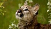 hd watchful cougar montana wallpaper download