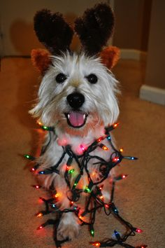 My happy Reindeer Westie!!!! #christmas