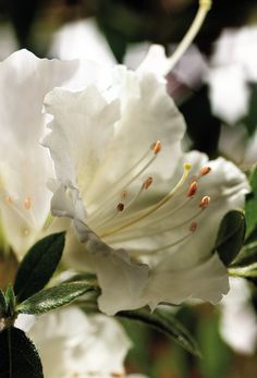 Check out our comprehensive Encore Azalea guide and choose the best variety for your landscape or garden needs! Azaleas Landscaping, Buyers Guide, Landscape, Rose, Garden, Flowers, Pink, Roses, Lawn And Garden