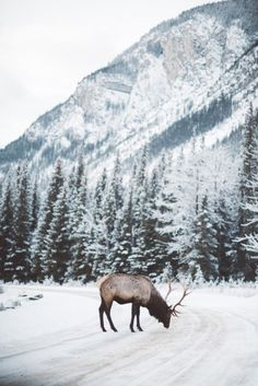 Nature Pictures, Art Pictures, Banff National Park, National Parks, Modern Hepburn, Snowy Day, Oh Deer, Life Is Beautiful, Beautiful Things