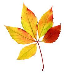 Autumn Leaves Clip Art | Fall Leaf #5 Clip Art