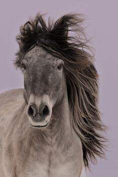 Grey horse with its mane blowing in the wind.