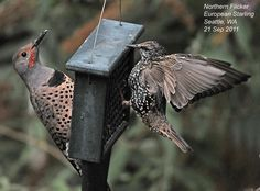 Northern Flicker and European Starling