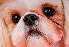 Resultado de imagem para olhos caninos