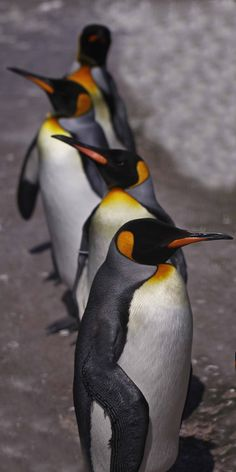King Penguins Parade