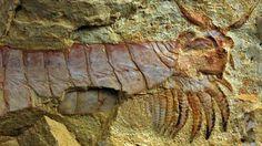 """ULTIMOS DESCUBRIMIENTOS CIENTIFICOS   J, 28 FEB 2013 - """"Científicos descubren una criatura marina de más de 500 millones de años""""  .. Científicos descubren los fósiles de una criatura marina de 520 millones de años, con extremidades bajo su cabeza .. (IPITIMES.COM® /FUENTE: GENERACCION)."""
