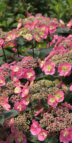 Enjoy months of blooms with the petite power of Tuff Stuff Red hydrangea. Hardy to zone 5, this variety has a compact and tidy habit.