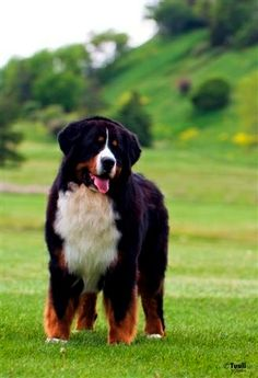 Beautiful Bernese Mountain Dog.. can not wait to have one of these!!!