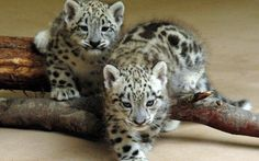 images of baby leopards | Two Leopard Baby