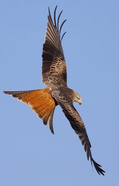 Red Kite - Milvus milvus. Really like seeing them circling over my garden!
