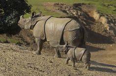 The Javan Rhinoceros