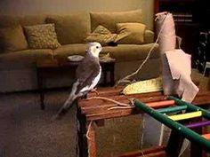 Cockatiel singing away