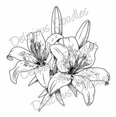 Stargazer Lily Sketch Teris World Lovely Lillies