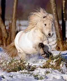 Tiny Shetland pony or miniature horse! Such a cute little chubby white horse running through the snow. Pretty Horses, Horse Love, Beautiful Horses, Animals Beautiful, Cute Animals, Tiny Horses, Show Horses, Miniature Ponies, Winter Horse