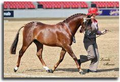 Australian Pony...