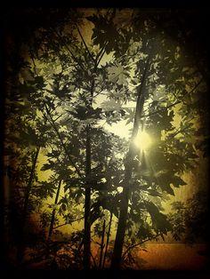 Sunlight through maples