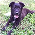 Check out Nicole, an adoptable Australian Shepherd/Australian Cattle Dog Mix on Adopt-a-Pet.com.
