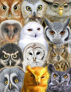 Posters Owls 1 by R Calfio...