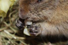 Il citello possiede denti incisivi lunghi e affilati, tipici dei roditori, a crescita continua, che mantiene della corretta lunghezza con il consumo continuo. Gli arti sono relativamente corti, con zampe anteriori e posteriori di lunghezza quasi uguale.
