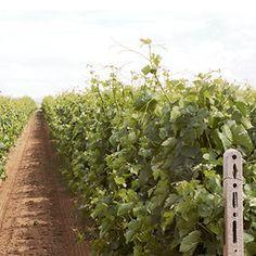 Ktima Alpha- Amyntaio vineyard image Vineyard, Greece, Plants, Image, Beautiful, Greece Country, Flora, Plant, Grease