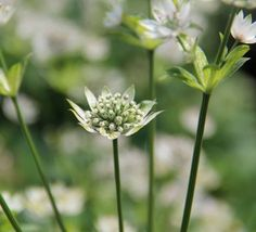 Astrantia major 'Star of Billion' (PBR)