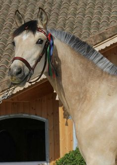 """The """"Pura Raza Española"""" (PRE) translated as """"Pure Spanish Horse""""…ancestors have lived on the Iberian Peninsula…for thousands of years…the breed is known for its athleticism and stamina…this horse is closely related to the Lusitano horses of Portugal…"""