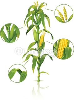 Vector Art : Corn stalk. More