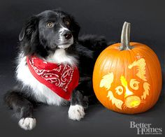 """Border Collie Pumpkin:   """" My border collie, Oreo, thinks she's a cat. She leaps from the floor to the top of the sofa in one swift movement, then glides to the coffee table to look out the window. Oreo's favorite toy is a chew stick. She'll throw it in the air, swat at it, watch it land, and then pounce on it. It keeps her entertained for hours, but she rarely eats it. In fact, she usually buries one in the sofa as a """"present"""" for me to find.""""        -- Jenny McCoy, Oreo's owner"""