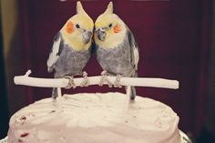 These are the custom wedding cake toppers my friend @Bethany O'hara-Na of TeaOlive made for @Dan and I.  They're nearly exact replicas of our cockatiels Roo (left) and Bigsby (right). She got all the details, including Bigsby's little bald spot on the top of his head and Roo's lighter coloring.  They're real enough that they freak out the live versions if I put them where they can see them.  They're one of my most treasured possessions, and I can highly recommend her work.