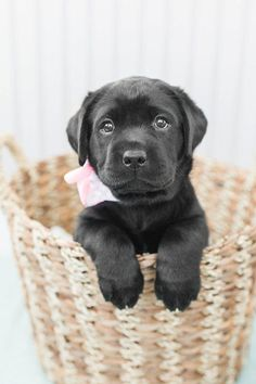 Mind Blowing Facts About Labrador Retrievers And Ideas. Amazing Facts About Labrador Retrievers And Ideas. Tiny Puppies, Cute Dogs And Puppies, Puppies Tips, Pomsky Puppies, Puppys, Puppies Stuff, Golden Retrievers, Cute Puppy Pictures, Puppy Pics