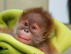 rieke the orangutan - Google Search