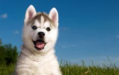 Download wallpapers 4k, Siberian Husky, puppy, dogs, pets, Chukcha, cute animals, Husky