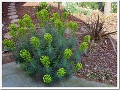 Succulents and More: Mediterranean spurge Alpine Garden, Dry Garden, Water Wise, Front Yard Landscaping, Green Flowers, Shade Garden, Outdoor Gardens, Outdoor Living, Succulents