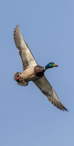 Picture of a mallard duck in flight - Vögel - Prime Pato Animal, Duck Hunting Blinds, Bird Cage Centerpiece, Duck Pictures, Bird Canvas, Bird Drawings, Mallard, Colorful Birds, Wildlife Art