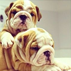 Very Wrinkly, every wrinkle is a sign of love so these bulldogs have like eighteen hearts