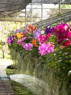 Caring for Your Vanda: Vandas are striking orchids that reward the dedicated grower. They aren't terribly difficult to care for, but they do require daily attention. If you're willing to commit to … Indoor Orchids, Orchids Garden, Orchid Plants, Air Plants, Indoor Plants, Potted Plants, Orchid Show, Orchid Care, Tropical Garden