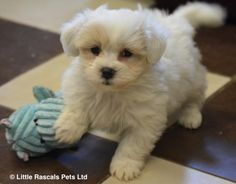 Affectionate Malshi babies - Designer and Cross Breed Puppies For Sale