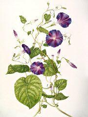 Ipomoea purpurea http://www.pinterest.com/evoketheelement/fire-key-ingredients/