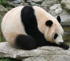 Giant panda  Long Hui at Vienna Zoo