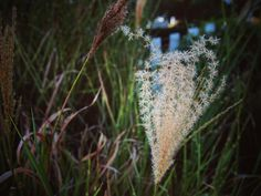 Grasses in the garden #garden #gardenersnotebook #grass #plants #seeds #nature #outdoors