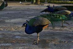Hello Peacock | by Pedro Hora