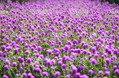 What a dream! Globe Amaranth, Color Shades, See Photo, Flower Crown, Organic Gardening, Purple, Pink, Bouquet, Wreaths